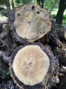 Old oak tree with approximately 300 growth rings.