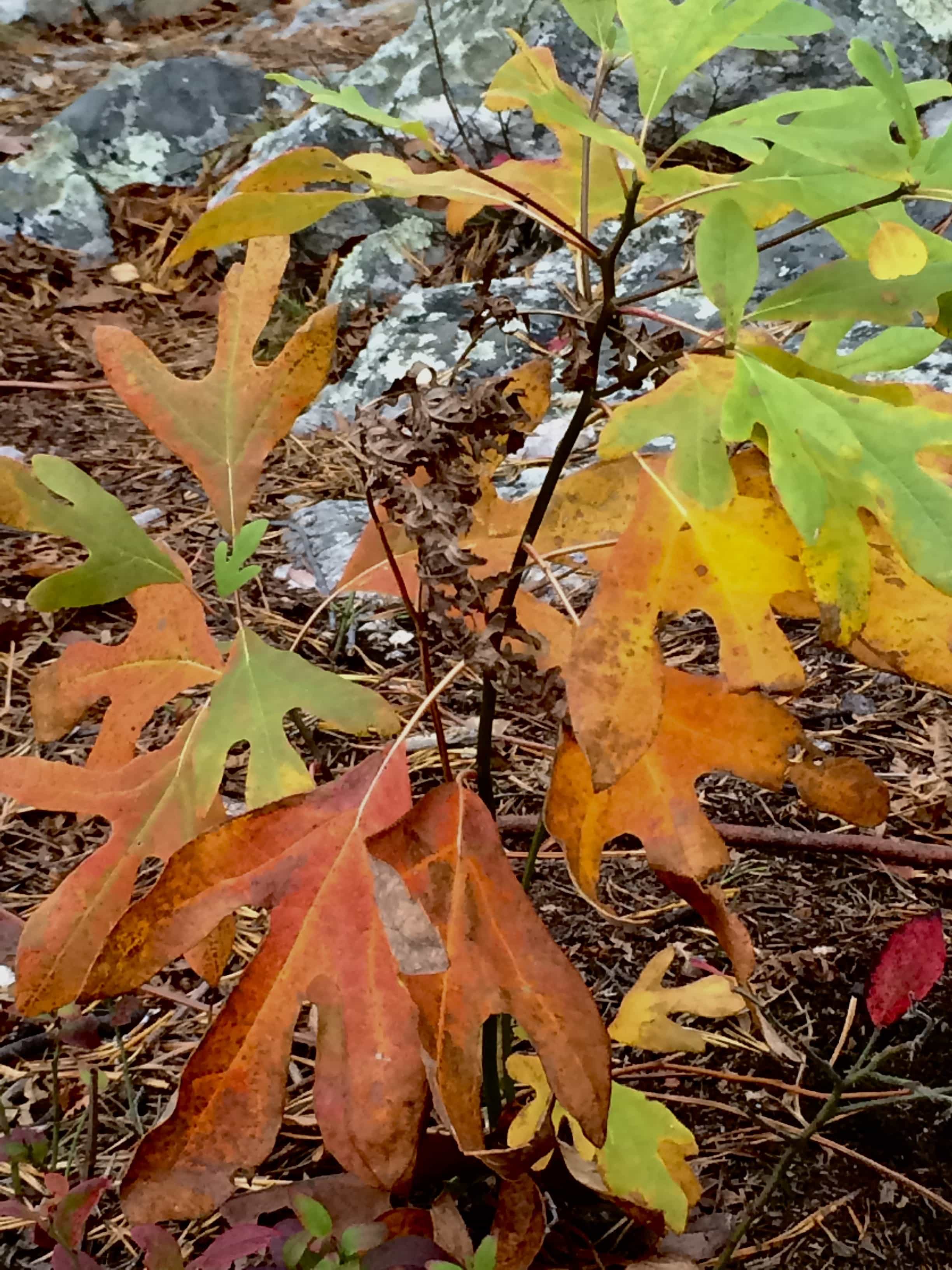 Multicolored sassafras leaves.