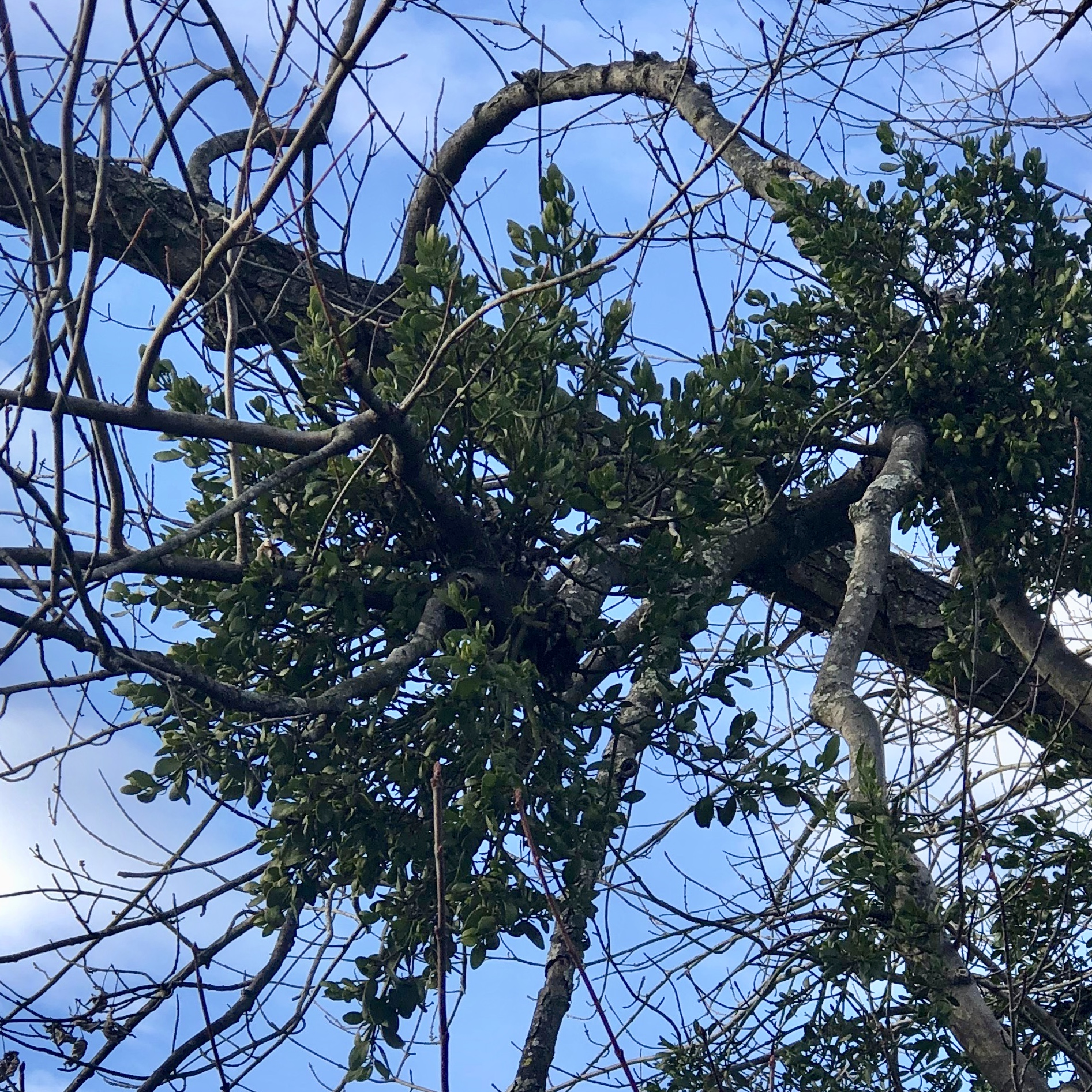 Mistletoe, a storied plant from myths that is actually a parasite